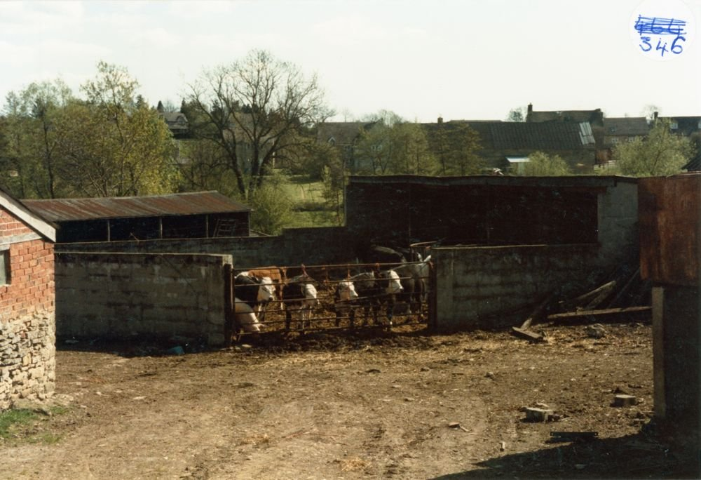 Holliers Farm cattle, North Street.