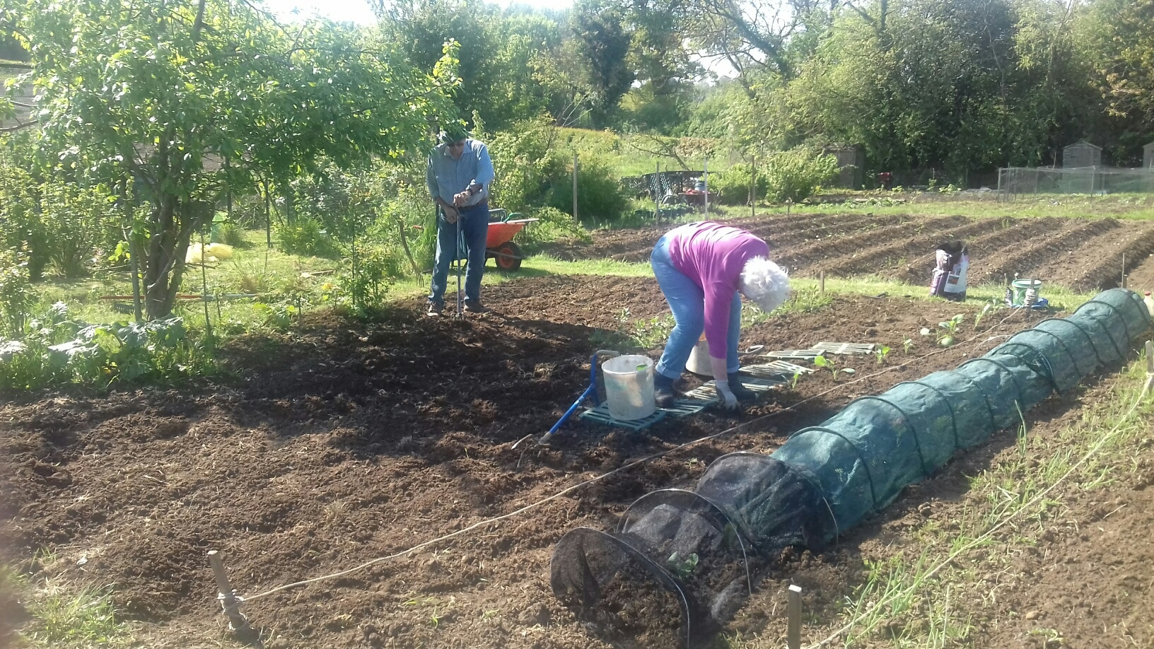 Digging for Victory! Ken and Trish Lusted cultivationg the soils and planting cabbage plants on their allotment. May 6 2020