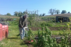 Digging for Victory! Ivor Hill on his allotment using a Mantis tiller to renovate the soil. May 6 2020