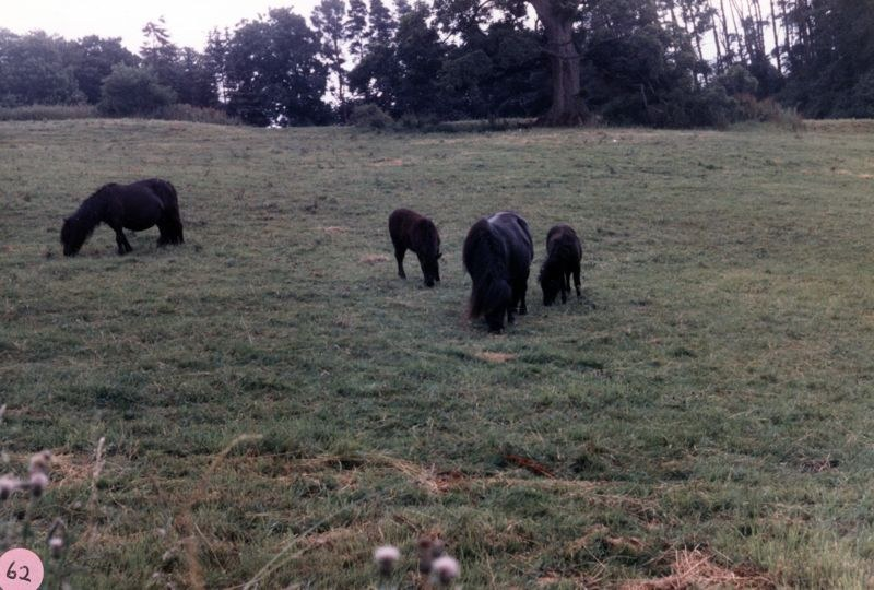 1986 Mrs. Joan Fleming's ponies in a field east of Pack Lane and north of the brook.
